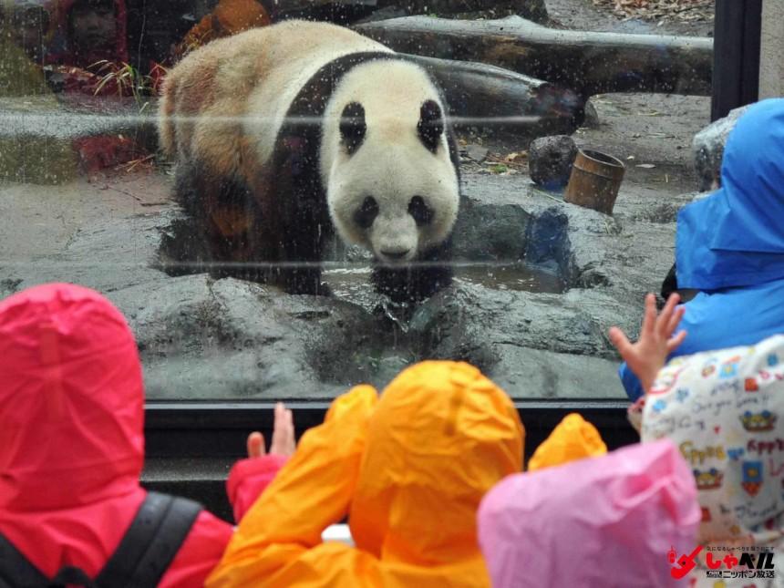 「上野パンダ公開中止へ」 発情兆候が認められ、いつもより多く歩き回るパンダのシンシン(メス)=上野動物園