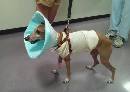 手術直後のぱう。痛々しい姿、だけど目はキラキラ。