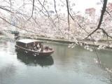 【門前仲町】船の上から楽しめる満開の桜