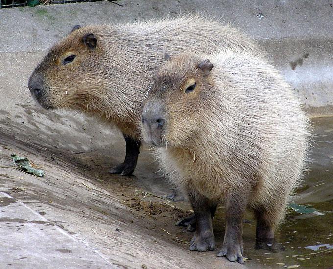 1280px-Bristol.zoo.capybara
