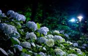 夜の妖艶なあじさい鑑賞は如何ですか?~ としまえん 第14回あじさい祭り ~