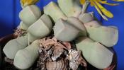石、もしくは半分に切った里芋の煮っころがしに見えるカワイイ観葉植物とは? 【本仮屋ユイカ 笑顔のココロエ】