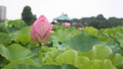 花言葉は「清らかな心」。朝は不忍池の蓮! 【ひろたみゆ紀・空を仰いで】