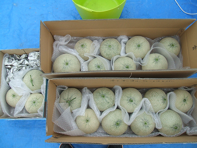 1収穫メロン(w680)