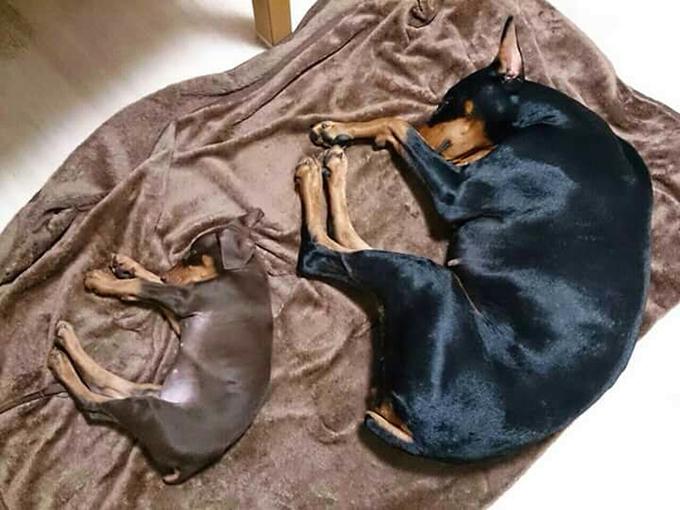 ママとおひるね ド―ベルマンの子犬