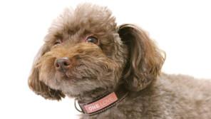 愛犬の癌を受け入れて生きる 余命2ヶ月の愛犬に贈る最後のプレゼントとは?【わん!ダフルストーリー】