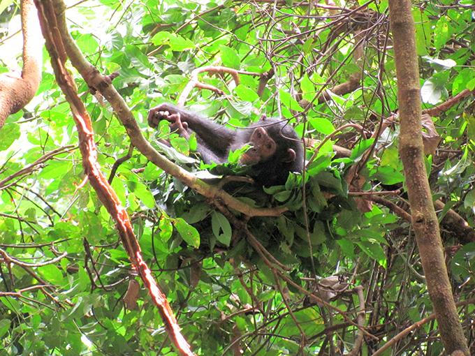 木のベッドチンパンジー