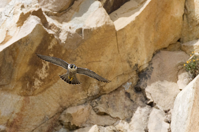 飛行するハヤブサ
