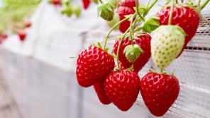 イチゴはヘタの方から食べるほうが甘いんです。【鈴木杏樹のいってらっしゃい】