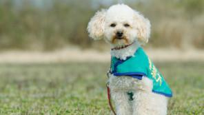 捨てられたトイプードルを警察犬に育てた男性「あけの語りびと」(朗読公開)