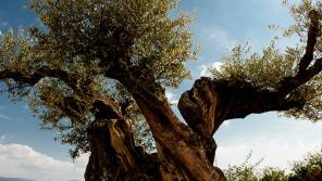 """訪れる人に""""元気""""と""""希望""""を!『樹齢1000年のオリーブの樹』【鈴木杏樹のいってらっしゃい】"""