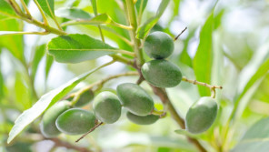 最も黒っぽい完熟状態で『エキストラバージン・オリーブオイル』ができます!【鈴木杏樹のいってらっしゃい】