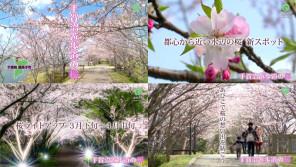 桜をテーマしたCM放映中!手賀沼遊歩道【ハロー千葉】