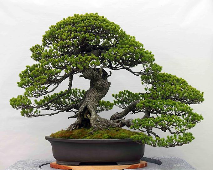 大宮盆栽美術館,五葉松 銘 千代の松