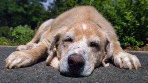 病院に急ぐべき前庭疾患!?老犬が急に首を傾げてフラフラに…【ペットと一緒に vol.32】