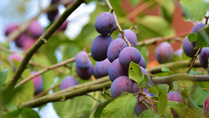 桃の豆知識②すももは桃のうちじゃない?【鈴木杏樹のいってらっしゃい】