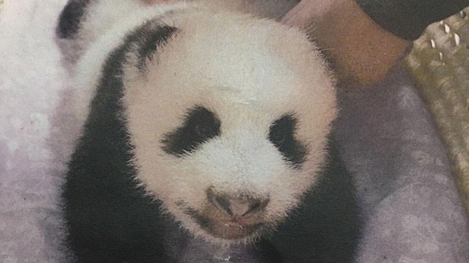 新人女性記者パンダの名前の秘密を探る