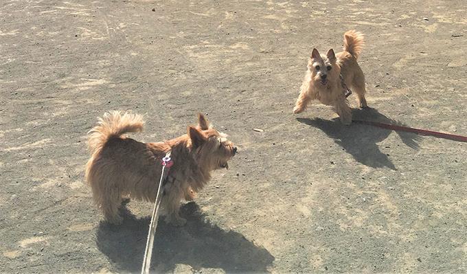 テリア イヌ いぬ 愛犬 犬