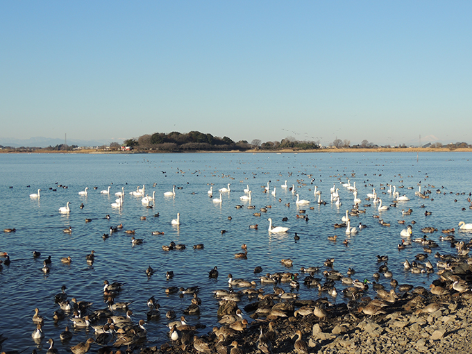 多々良沼 白鳥