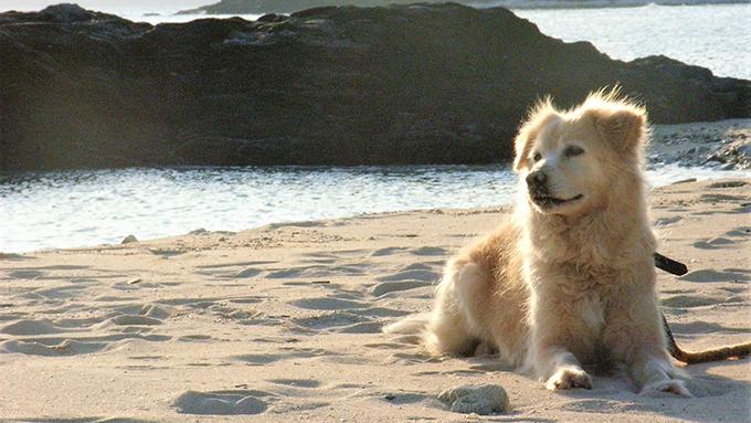 恋人に会うため3キロ泳ぐ犬、映画『マリリンに逢いたい』のモデル犬の孫に逢いたい!