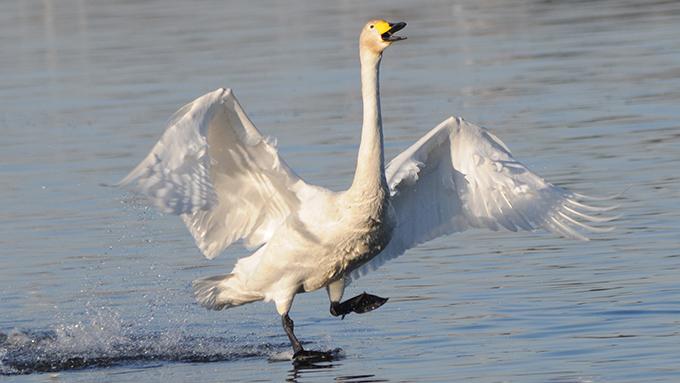 白鳥に魅せられ、毎朝その姿をカメラに収めている会社員のストーリー