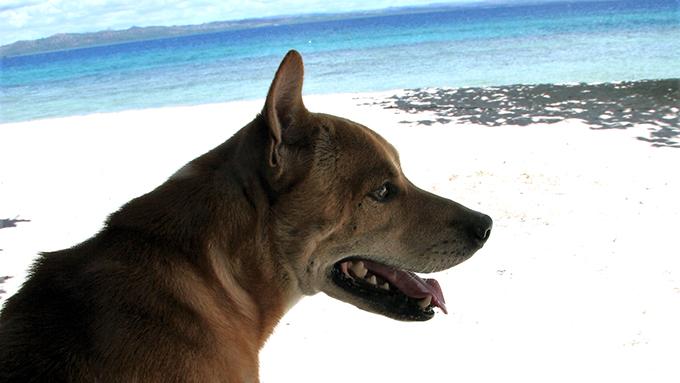 """フィリピンの""""ビサヤ犬""""の自由で豊かな南の島ライフ"""