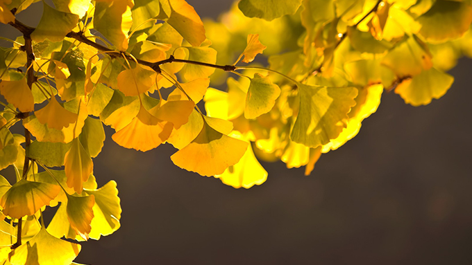 イチョウの葉が本のしおりに最適な理由