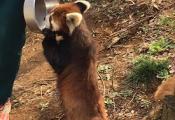 今でもレッサーパンダの風太は大人気!:動物公園駅