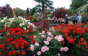 この週末まで!2,500株のバラが見られる「信州中野バラ祭り」【本仮屋ユイカ 笑顔のココロエ】