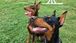 「怖い犬」の代名詞・ドーベルマンは、 実は「人を優しくしてくれる犬」だった! 【わん!ダフルストーリー】