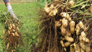 イチジク摘み・栗拾い・落花生掘り・さつま芋掘り!長柄町で秋の収穫を楽しもう 【ハロー千葉】