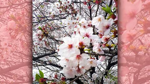 桜の開花は早まったの?