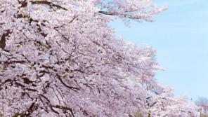 """""""さくら博士""""に訊く!桜にまつわる日本とイギリスの心温まる話とは?【ひでたけのやじうま好奇心】"""