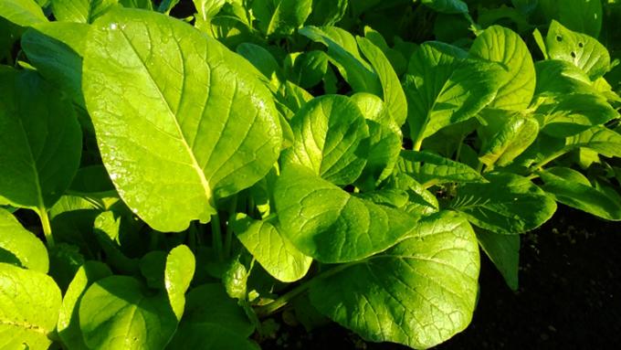 小松菜のカルシウムはホウレンソウの3倍以上!【鈴木杏樹のいってらっしゃい】