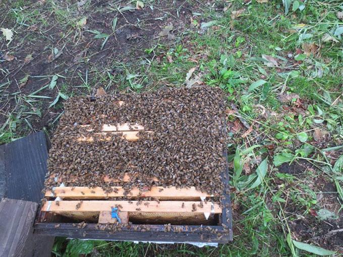 ハチの群れ