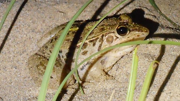鳥取砂丘に現れる〝砂丘ガエル〟の謎を追え!
