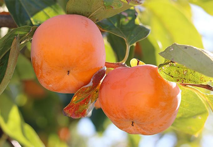せっきーファーム 富有柿