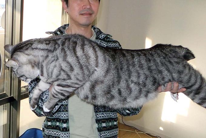 猫 ねこ サバトラ 巨大