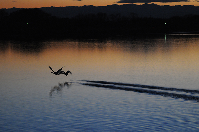 白鳥 多々良沼 湖上 滑走路