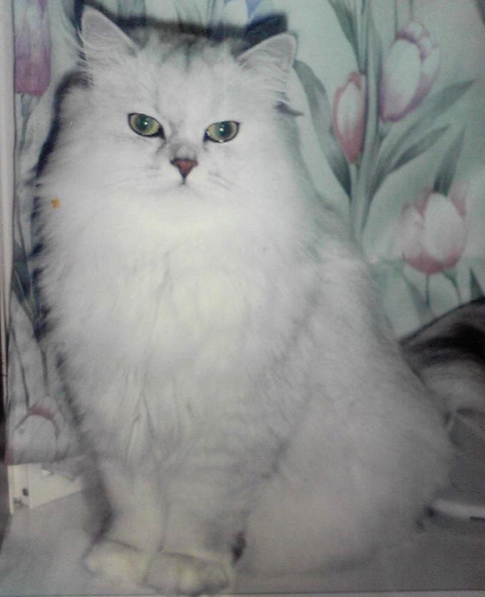 愛猫 チンチラ ねこ