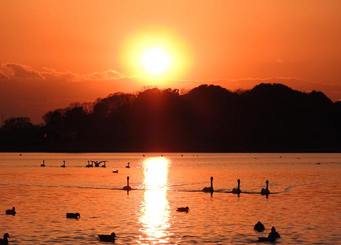 白鳥 多々良沼 夕陽 森の中