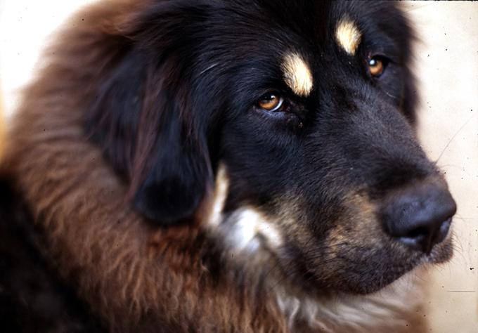 チベタン・マスティフ 戦闘犬