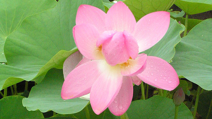 2,000年以上前の実から花開いた神秘的な「大賀ハス」