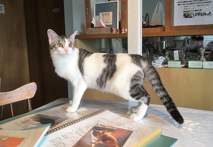 保護猫 猫カフェ ねこ ネコ 猫 しらさぎカフェ アイドル