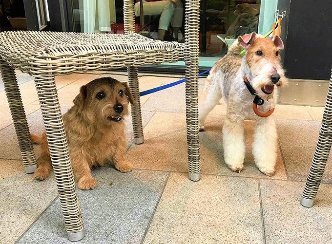 イヌ 犬 いぬ 愛犬 繁殖 リタイア犬 シニアドッグ テリア ブリーダー セカンドライフ 距離感