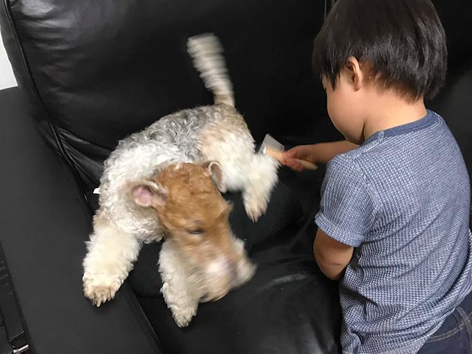 イヌ 犬 いぬ 愛犬 繁殖 リタイア犬 シニアドッグ テリア ブリーダー セカンドライフ お手入れ タイム
