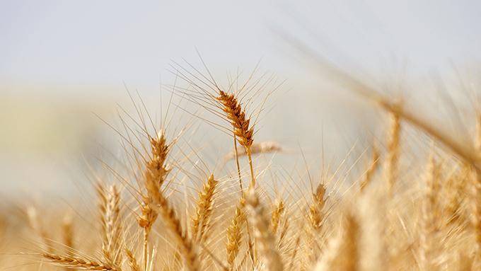 小麦と大麦が『小』『大』に分けられたおもしろい由来