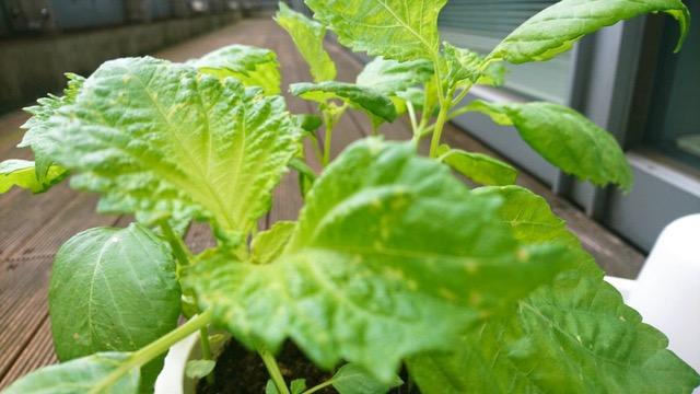 八木亜希子がベランダで育てる謎の植物