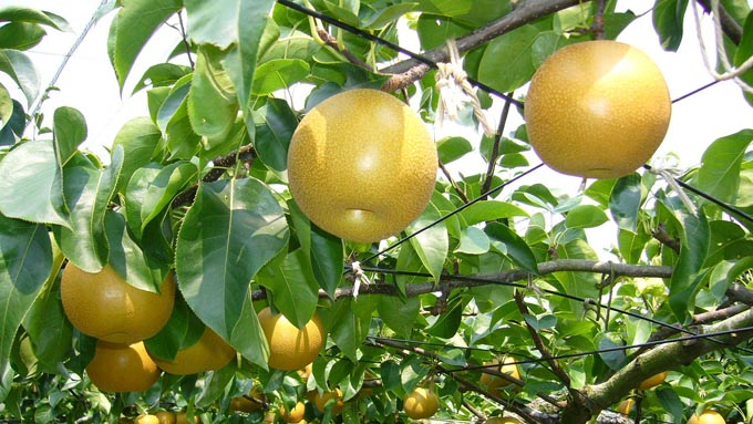梨はバラ科に属する サクラ、イチゴ、アーモンドも
