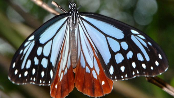 2千キロの長距離までも! 日本生まれの海を渡る蝶「アサギマダラ」